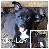 Adopt A Pet :: Skylar - Ringwood, NJ