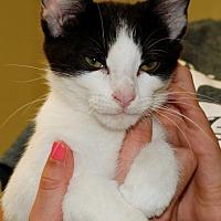 Adopt A Pet :: Oreo - Salem, WV
