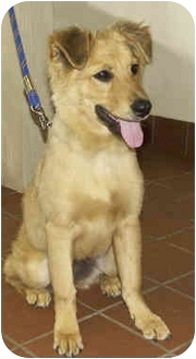 Golden Retriever/Sheltie, Shetland Sheepdog Mix Puppy for adoption in Marina del Rey, California - Delilah