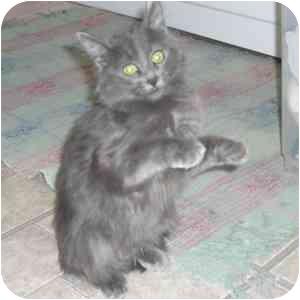 Domestic Mediumhair Kitten for adoption in Phoenix, Arizona - Fergie