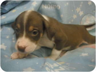 Brittany Mix Puppy for adoption in White Settlement, Texas - Kierra;s Pup - Nat