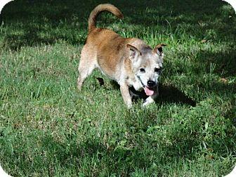 Corgi Mix Dog for adoption in Inverness, Florida - Penny