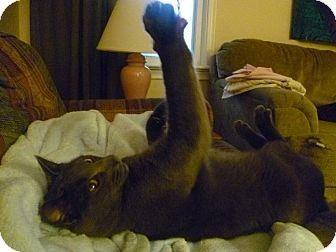 Domestic Shorthair Cat for adoption in Cambridge, Ontario - Harper
