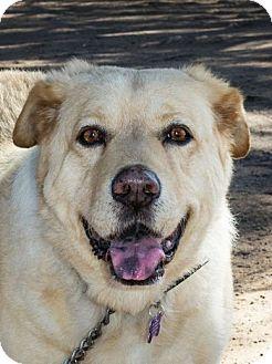 Labrador Retriever Mix Dog for adoption in Phoenix, Arizona - FARGO