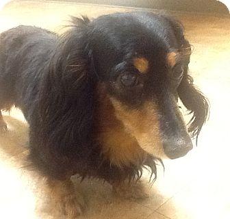 Dachshund Mix Dog for adoption in Rochester, Michigan - Dexter