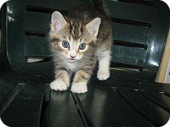 Domestic Shorthair Kitten for adoption in Elliot Lake, Ontario - Rex