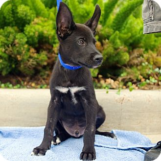 Husky/German Shepherd Dog Mix Puppy for adoption in Houston, Texas - Jet