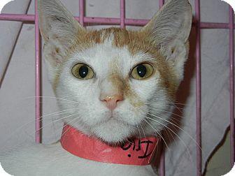 Domestic Shorthair Kitten for adoption in Miami, Florida - Iria