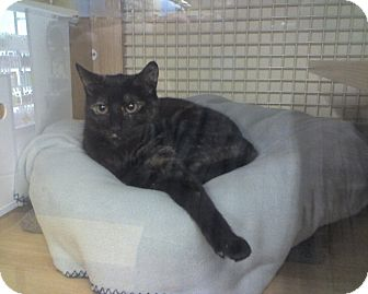 Domestic Shorthair Cat for adoption in Trenton, New Jersey - Beauty (Petco Hamilton Square)