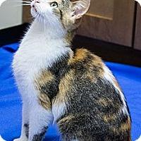 Adopt A Pet :: Apollonia - Chicago, IL