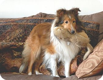 Sheltie, Shetland Sheepdog Dog for adoption in Circle Pines, Minnesota - Lacy