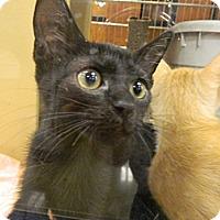 Adopt A Pet :: Sheba - The Colony, TX