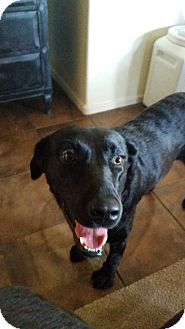 Labrador Retriever Mix Dog for adoption in Higley, Arizona - MIA