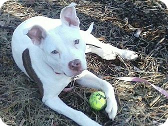 Pit Bull Terrier Mix Dog for adoption in Woodlyn, Pennsylvania - Sasha