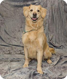 Golden Retriever Mix Dog for adoption in BIRMINGHAM, Alabama - Queen