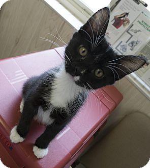 Domestic Shorthair Kitten for adoption in Fremont, Nebraska - Nike