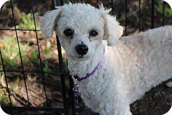 Poodle (Miniature) Dog for adoption in New Iberia, Louisiana - Sweet Pea
