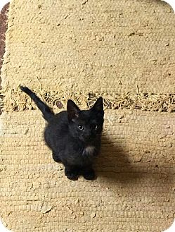 Domestic Shorthair Kitten for adoption in Turnersville, New Jersey - Thumbelina (Polydactyl)
