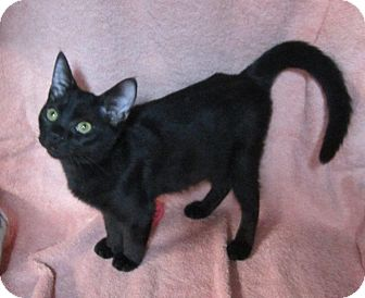 Domestic Shorthair Kitten for adoption in Seminole, Florida - Sabrina