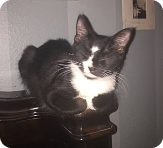Domestic Mediumhair Kitten for adoption in Port Charlotte, Florida - Smudge