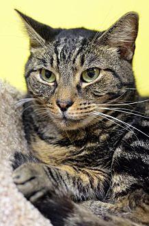 Domestic Shorthair Cat for adoption in Atlanta, Georgia - Pluto 7348