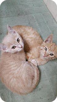 Domestic Shorthair Kitten for adoption in Hastings, Minnesota - Rooster & Goose