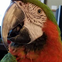 Macaw for adoption in St. Louis, Missouri - Harley