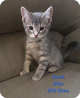Domestic Shorthair Kitten for adoption in Cheney, Kansas - Knuck