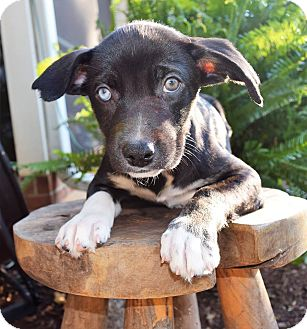 Pit Bull Terrier/Husky Mix Puppy for adoption in Charlotte, North Carolina - Raleigh (City Slickers)