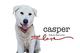 Labrador Retriever/Great Pyrenees Mix Dog for adoption in Sun valley, California - Casper