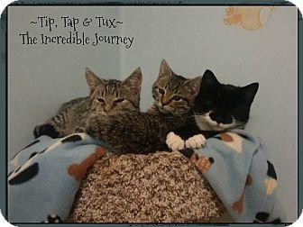 Domestic Shorthair Cat for adoption in Lincoln, Nebraska - THE INCREDIBLE JOURNEY