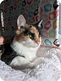 Domestic Mediumhair Kitten for adoption in Fountain Hills, Arizona - FERGIE