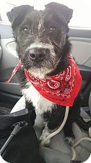 Border Collie/German Wirehaired Pointer Mix Puppy for adoption in Ogden, Utah - Jagger