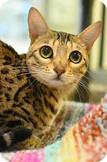Bengal Cat for adoption in Aiken, South Carolina - Zelda