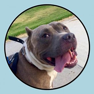 American Pit Bull Terrier Mix Dog for adoption in Rancho Santa Margarita, California - ZZ-Moosie *courtesy post