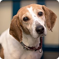 Adopt A Pet :: Myrtle - Richmond, VA