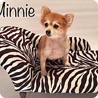 Pomeranian Dog for adoption in Dallas, Texas - Minnie 2017