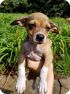 Chihuahua/Jack Russell Terrier Mix Puppy for adoption in Sturbridge, Massachusetts - Sophie
