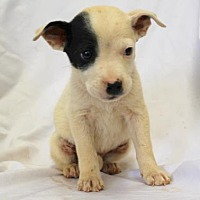 Adopt A Pet :: Pucker - Chester Springs, PA