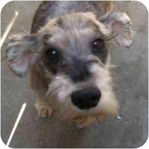 Schnauzer (Miniature) Dog for adoption in Redondo Beach, California - Muffin