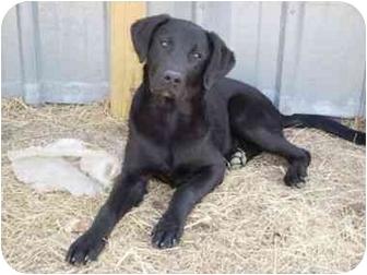 Labrador Retriever Mix Puppy for adoption in Stockton, Missouri - Ike