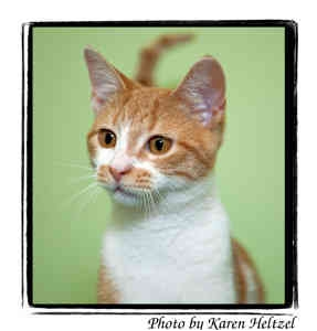 Domestic Shorthair Cat for adoption in Warren, Pennsylvania - Radar