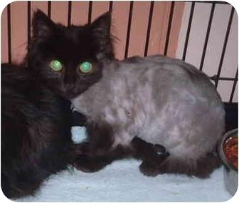 Domestic Longhair Kitten for adoption in Honesdale, Pennsylvania - Matthew
