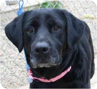 Labrador Retriever/Retriever (Unknown Type) Mix Dog for adoption in Berea, Ohio - Lexi