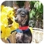 Photo 3 - Miniature Pinscher Mix Dog for adoption in North Hollywood, California - Maggie
