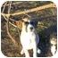 Photo 3 - Beagle/Labrador Retriever Mix Puppy for adoption in Adamsville, Tennessee - Bo (pending)