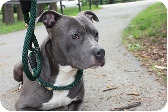 American Pit Bull Terrier Mix Dog for adoption in Reisterstown, Maryland - King