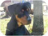 Rottweiler Mix Dog for adoption in Rochester/Buffalo, New York - Cody