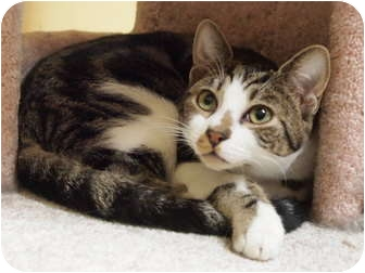Domestic Shorthair Cat for adoption in Ocean City, New Jersey - Fonzie