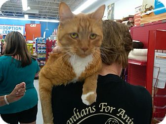 Domestic Shorthair Cat for adoption in Sterling Hgts, Michigan - Garfield(front declaw)